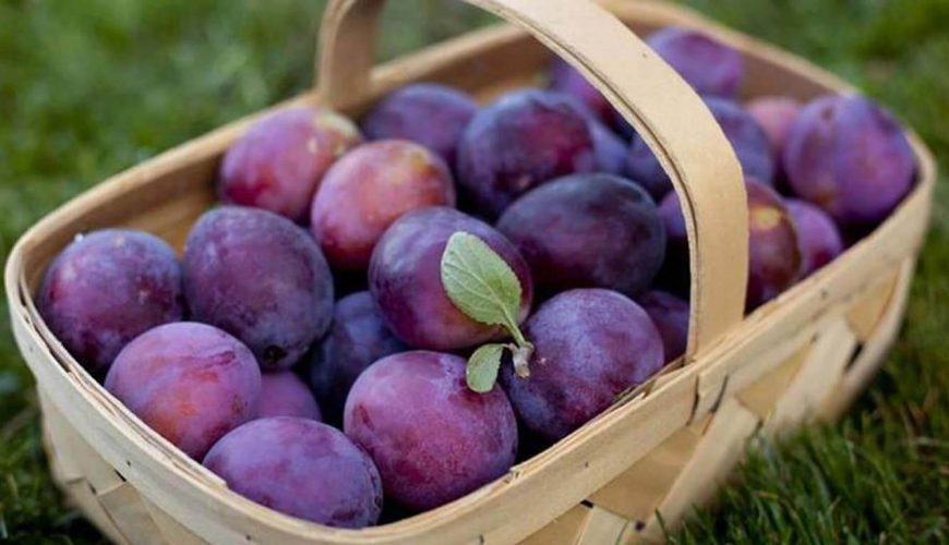 Wooden basket with purple plums of the Plum Festival Troyan&Oreshak