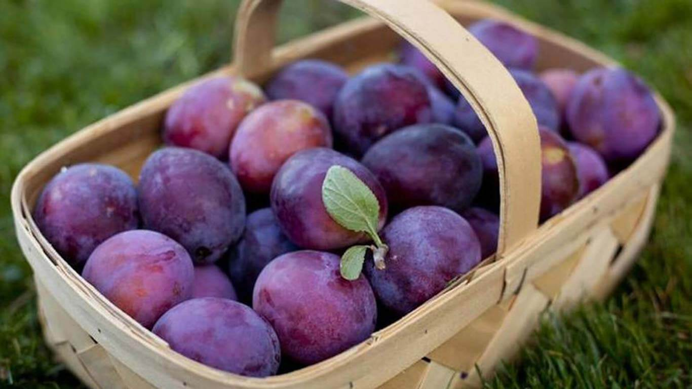 Wooden basket with purple plums of the Plum Festival in Troyan&Oreshak
