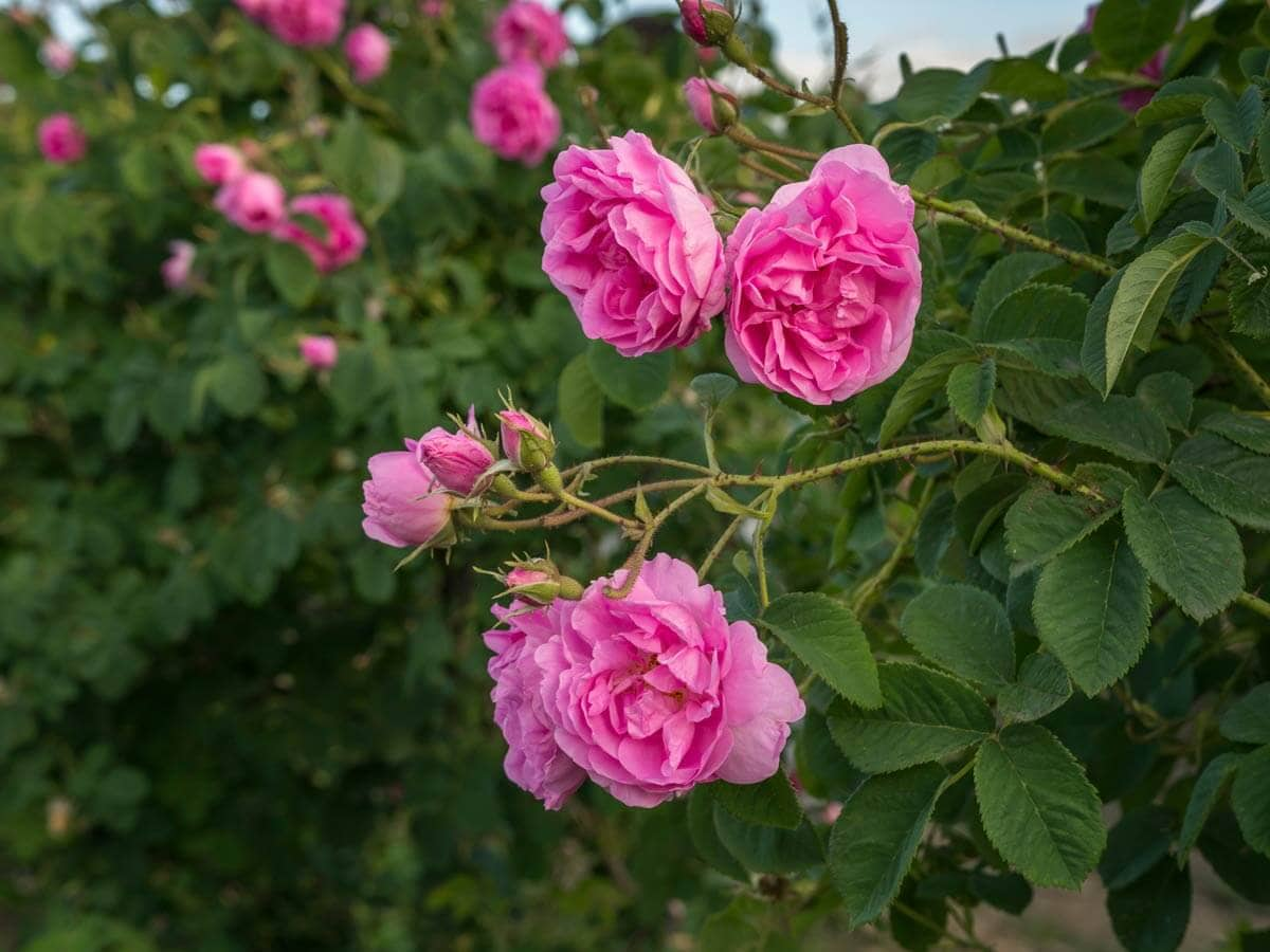 Bulgarian rose, known as Rosa Damascena pink oil-bearing flowering deciduous shrub plant